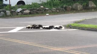 Skunk Family Cross Road Safely