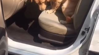Music dog sitting in car - Video