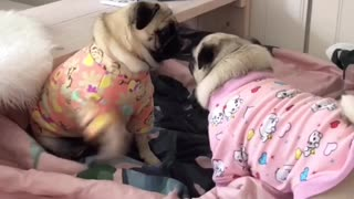 Playful Pug Best Friends Have Pajama Party