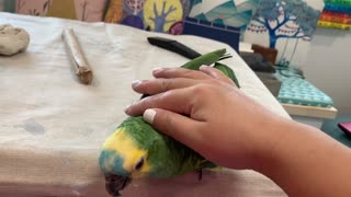 Bella The Talking Parrot loves to be tamed