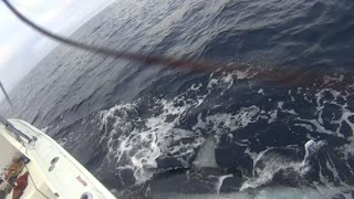 Tagged Mako Shark - Video