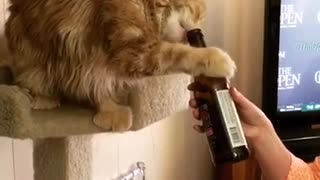 Cat unwinds with ice cold beer - Video