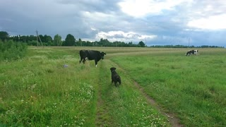 Dog met cows for first time