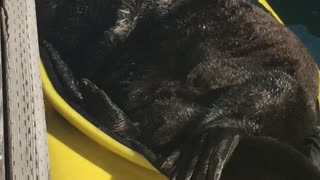 Sea Otter Relaxes in a Kayak