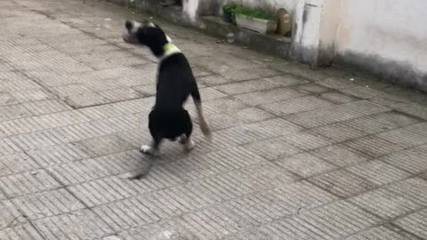 Black white dog jumping bubbles