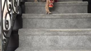 Slowmo great dane walks down stairs red toy - Video