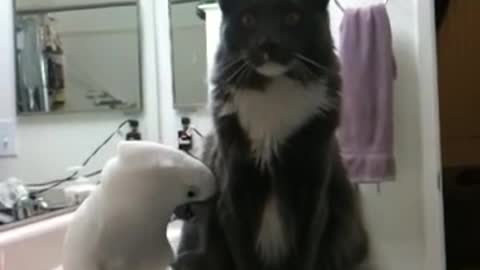 Cockatoo desperately attempts to befriend cat