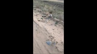 Saving of a fat gopher - Video