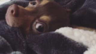 Lady says wheres louie and brown chihuahua appears from blankets - Video