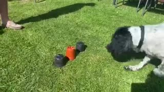 Dog outsmarts human with magic trick