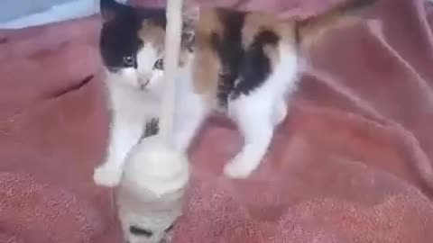 Too cute! Kitten shows off her boxing skills!