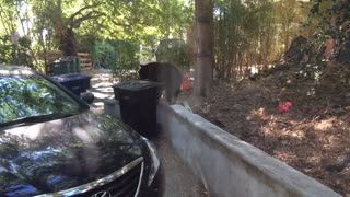 Family catches bear wandering outside of home - Video