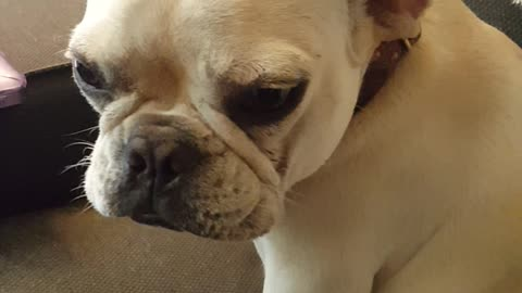 French Bulldog's Guilty Face