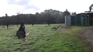 Hawk Launches Back To Freedom After Being Rehabilitated
