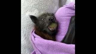Rescued Baby Bats Try New Fruit