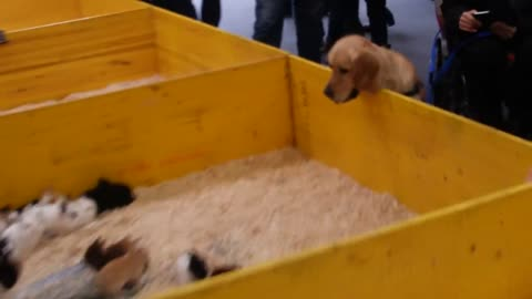 Golden Retriever Completely Hypnotized By A Box Of Bunnies