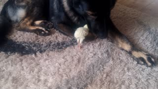 Gentle German Shepherd watches over baby turkey