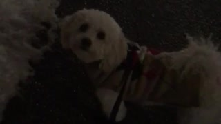 White poodle in purple leash walking in snow