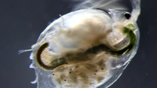 Water fleas prepare for Space voyage