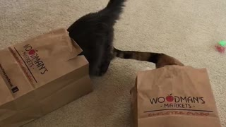 Typical cats love playing in shopping bags