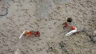 Unbelieveable Mutated Animals - Mutant Crabs in Thailand - Video