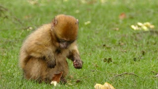 Brown Little Monkey Eating Stolen Bread From House