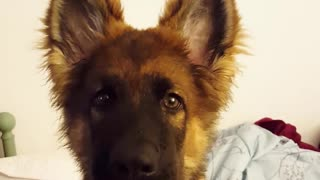 German shepherd puppy howls with owner  - Video