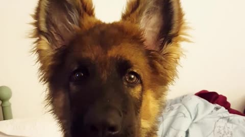 German shepherd puppy howls with owner