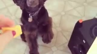 Two black dogs waiting to get fed cheese  - Video