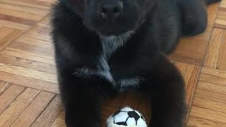 Black puppy lies on wooden floor and plays with mini soccer ball  - Video