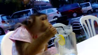 Monkey casually enjoys dinner at restaurant - Video