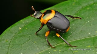 Dung Beetle from the Ecuadorian Amazon rainforest  - Video