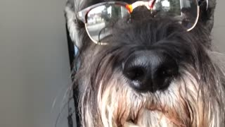 Black dog glasses stares out window