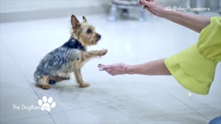 Dogfluencers brown dog learning tricks with treats - Video