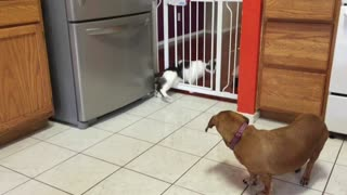 Big cat squeezes through baby gate