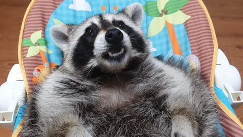 Raccoon lies in the baby bed and chews gum before going to bed.