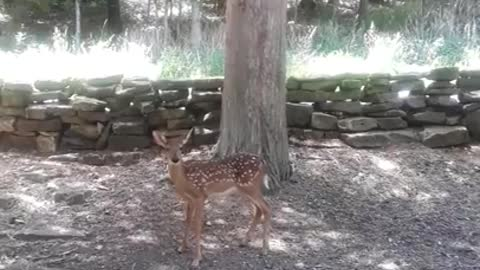 Fawn waits patiently while her Mamma eats from caretaker