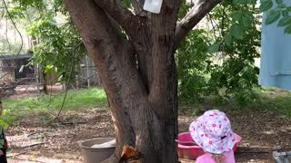 Dog climbs tree  - Video