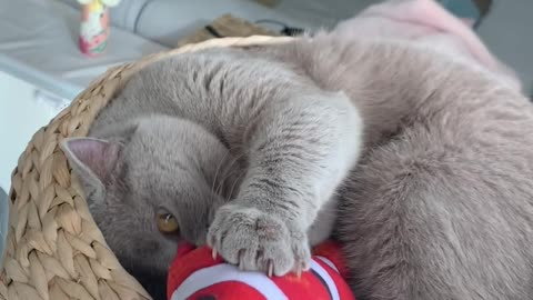 Watch how sweetly this cat plays with his favorite toy