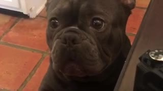 Black french bulldog barking at owner while sitting up - Video