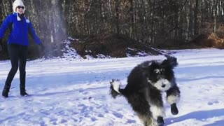 Black white dog jumps in the air to catch snow thrown by female owner  - Video