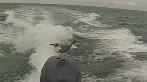 Seagull chills out on fast-moving boat