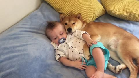 Shiba Inu preciously cuddles baby best friend