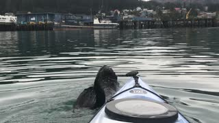 Sea Otter Playing with a Kayaker