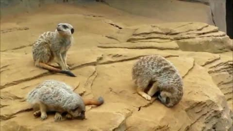 Meerkat falls asleep and falls off the hill