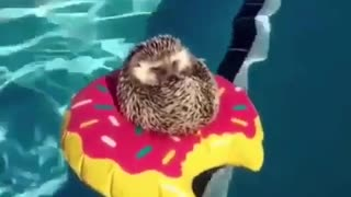 Hedgehog enjoying summer time in swimming pool