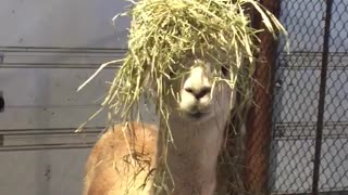 Hippy Alpaca Wins The Hair Game With Her New Haystyle  - Video