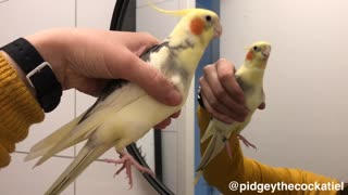 Parrot whistles musical tune to mirror reflection - Video
