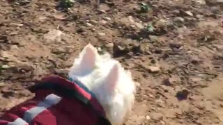 White dog with red coat on walks in the dirt  - Video