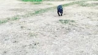 Black pit bull running in slow motion
